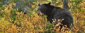 What to do if a Black Bear is Outside Your Tent?